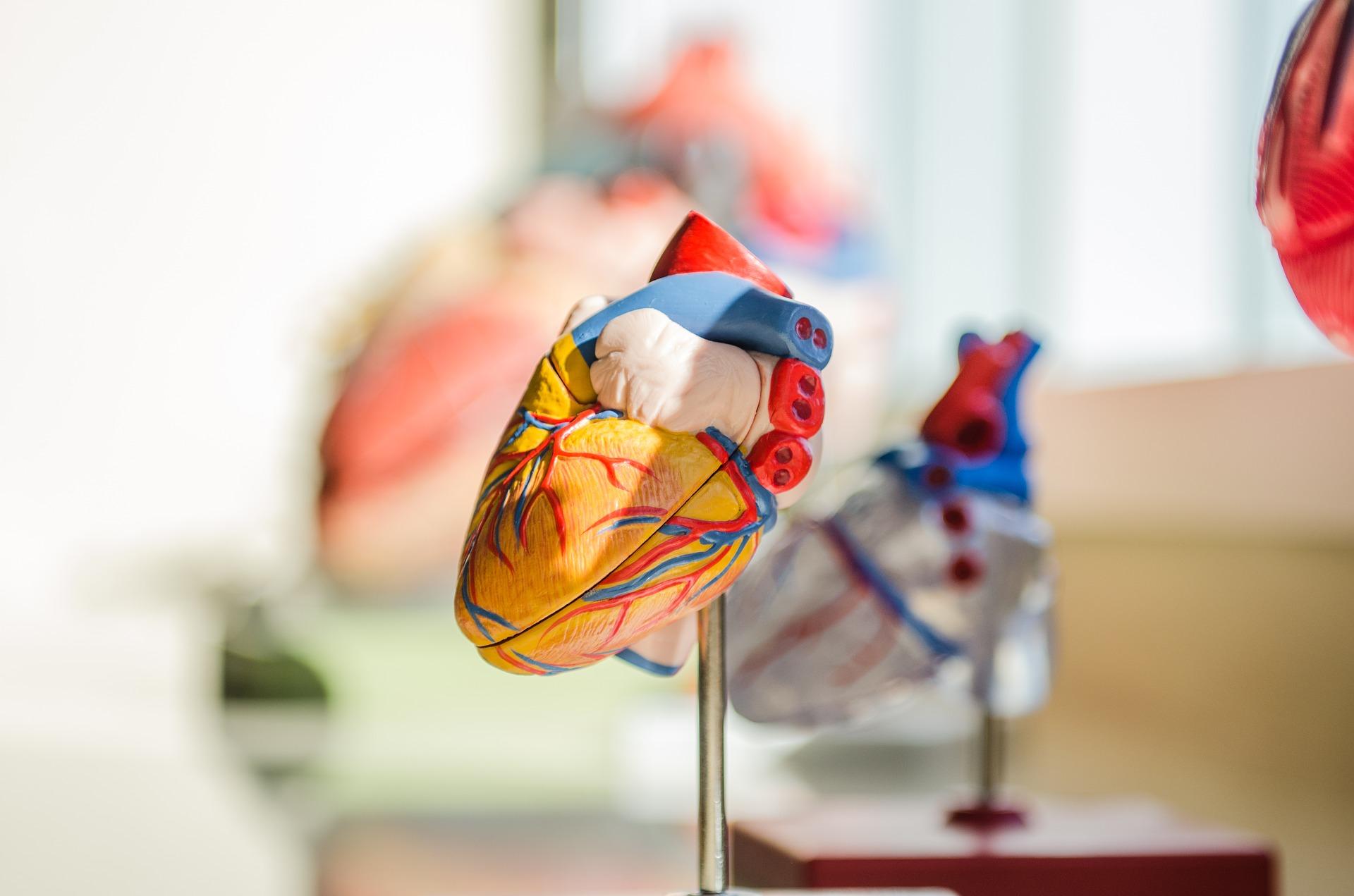 Human Heart 3D Model | Kids Car Donations