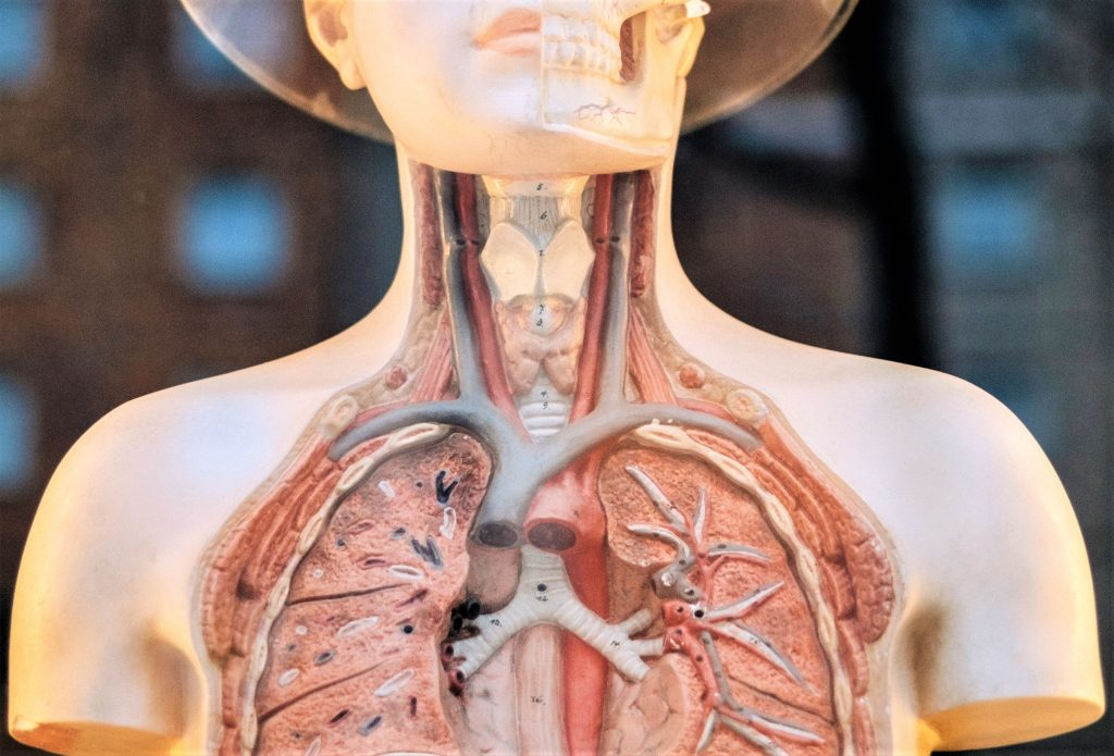 Human Anatomy Model | Kids Car Donations