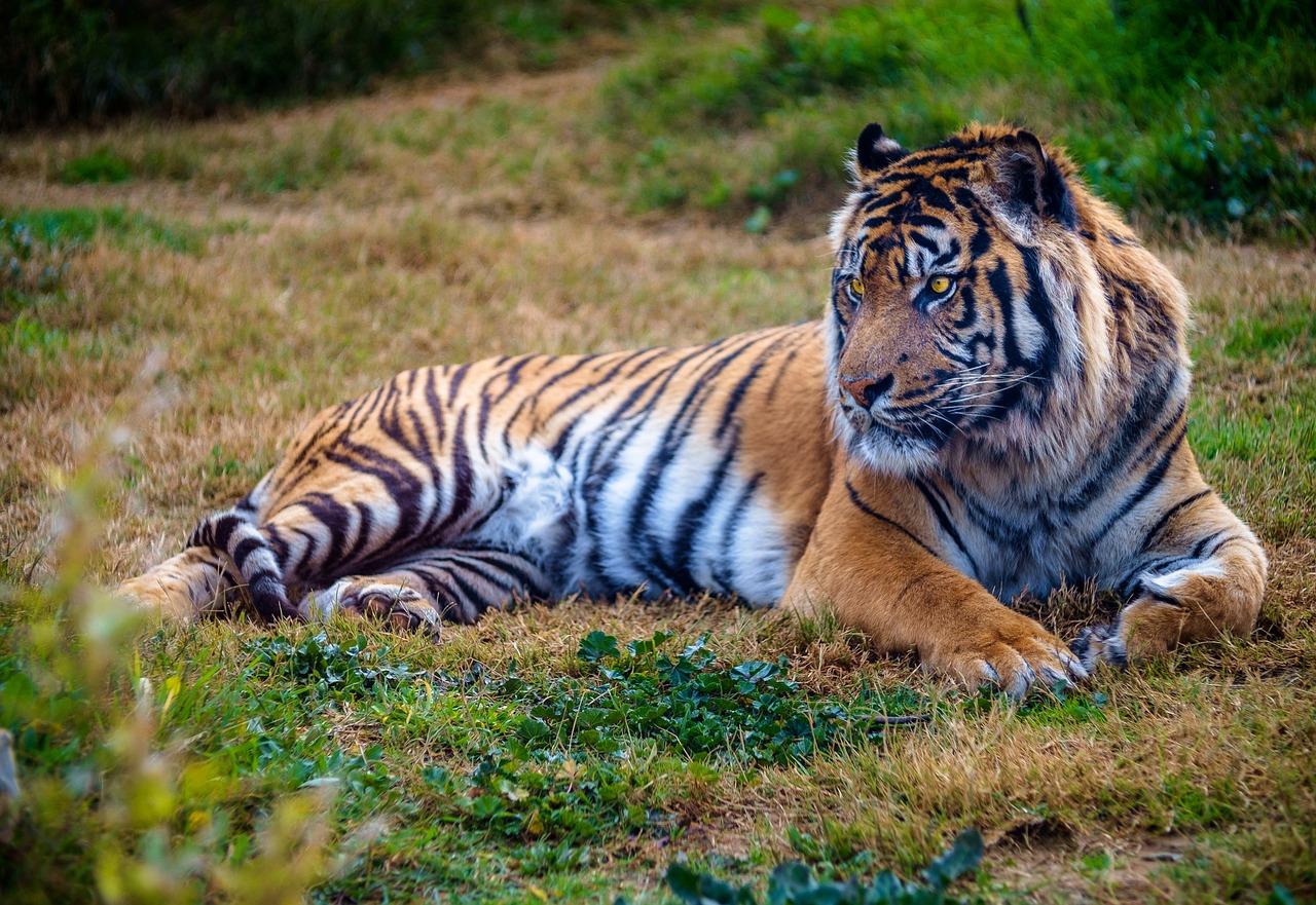 Endangered Siberian Tiger | Kids Car Donations